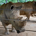 Southern White Rhinoceros (Knoxville Zoo)