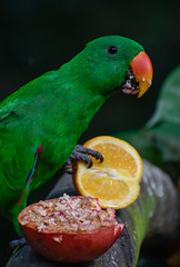 Eclectus parrot—beak in pomegranate and claw on orange (Robert-Ang) Tags: parrot fruits feeding nature eclectusparrot bird animal