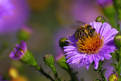 Autumn Aster with Bee (scorpion (13)) Tags: autumn aster with bee insect flower nature color creative photoart sun macro garden pollen blossom