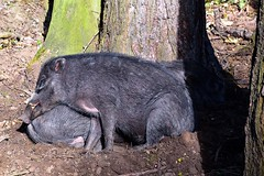 Sleeping Visayan Warty Pigs (rustyruth1959) Tags: trunk bark shadow mammal resting ground outdoor snout tree sleeping sleepingpigs pigs animal pig wartypig visayan visayanwartypig countrypark lothertonhall leeds yorkshire uk tamron16300mm nikond5600 nikon
