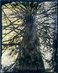 Limbs (Blurmageddon) Tags: 4x5 clearglassambrotype ambrotype tree wetplatecollodion bostickandsullivan oldworkhorsecollodion tachihara osakafieldcamera vw45fc epsonv700 franklincanyonpark osaka120mmf63