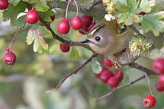 Goldcrest (KHR Images) Tags: goldcrest regulusregulus wild bird ukssmallestbird hawthorn autumn berries fendraytonlakes cambridgeshire rspb nature wildlife nikon d500 kevinrobson khrimages