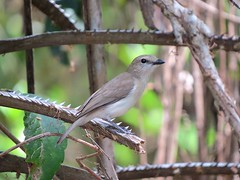 Pachycephala simplex simplex 4 (barryaceae) Tags: east point reserve monsoon forest walk darwin nt northern territory ausbird ausbirds pachycephala simplex top end grey whistler