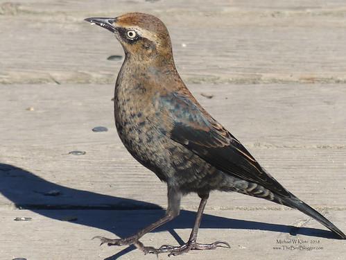 Rusty Blackbird - Burnaby, BC