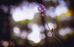 Prospero autumnale (sergio estevez) Tags: bokeh color campodegibraltar flowers flor luz naturaleza pinardelrey kiron28mmf2 sergioestevez