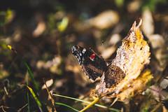 Krila leptira...
