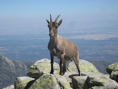 Ibex in Spain