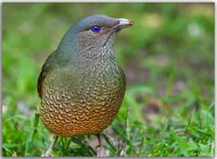 Satin Bowerbird (Bear Dale) Tags: satin bowerbird their eyes just beautiful scientific name ptilonorhynchus violaceus ulladulla southcoast new south wales shoalhaven australia beardale lakeconjola fotoworx milton nsw nikond850 photography framed nature nikon d850 nikkor afs 200500mm f56e ed vr teleconverter tc14e iii sapphire eye blie bird birding naturephotography
