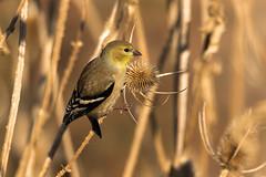 American Goldfinch (Spinus tristis)  Nonbreeding male (Brown Acres Mark) Tags: americangoldfinch spinustristis nonbreeding male emigrantlake jacksoncounty oregon usa markheatherington