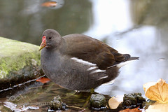 A cold autumn day at the lake (KevinBJensen) Tags: animal bird nature water moorhen cute pond lake cold autumn park reflections cologne germany