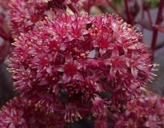 Hylotelephium 'Touchdown Teak' (Nessy apprentie en rangement) Tags: hylotelephium sedum succulent crassulaceae agl