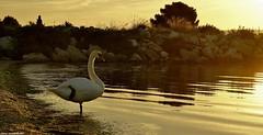 ZenAttitude ... PostureDeL'Arbre ;-) (SabineLacombe) Tags: yoga zen eau etang cygne oiseau matin berre