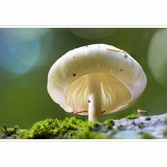 Pilzchen (horstmall) Tags: mushroom pilz toadstool champignon wald forest forèt schwäbischealb jurasouabe swabianjura alps macro makro nahaufnahme stacking focusstacking dof bokeh natur nature grabenstetten hochwang lenningen horstmall