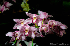 Festival de Orquídeas - Orchid Festival (Luis FrancoR) Tags: festivaldeorquídeasorchidfestival orquídeas orchid flores flowers festival jardinbotanicobogota