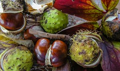 Autumn Colours (Antony Fleming) Tags: conkers chestnut horse autumn brown green
