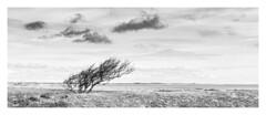 Resistance (Wayne Interessiert's) Tags: sylt landscape paysage wolken clouds nuages himmel sky ciel monochrome bw blackwhite minimalismus minimalisme baum tree arbre küste cost cotê insel island île
