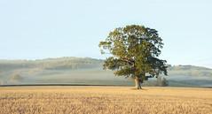 One oak (Explored) (Simon Verrall) Tags: oak tree field one alone single southdowns hills landscape sky mist autumn stubble midhurst heyshott