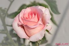 DSC_3822 (Guy_D_2018) Tags: vauréal iledefrance france цветок lule blumen ծաղիկ кветка цвете 花 flower 꽃 cvijet blomst flor lill kukka blodyn ყვავილების λουλούδι virág bunga bláth blóm fiore zieds gėlė цвет voninkazo fjura फूल bloem ਫੁੱਲ gul گل kwiat floare kvetina cvet blomma květina ดอกไม้ çiçek квітка hoa בלום زهرة nikon d90 rose doublefantasy floralfantasy