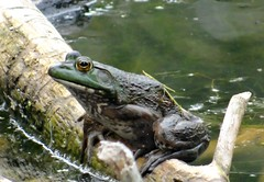 A good time (EcoSnake) Tags: americanbullfrog lithobatescatesbeiana amphibians frogs water wildlife fall september idahofishandgame naturecenter