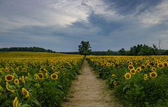 Different light on the pathway in Davis Feed Sunflower Farm - DSCT7309 (Alleung555) Tags: changing sky different lights pathway lone tree standing sea sunflower davis feed farm caledon on