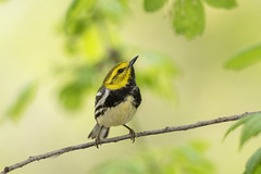 Black-throated Green Warbler (Dendroica virens) (Hamilton Images) Tags: blackthroatedgreenwarbler dendroicavirens warbler bird feathers mageemarshwildlifearea cranecreekstatepark oakharbor ohio canon 5dmarkiv 500mm may 2018 mf0a6724