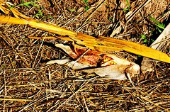 Didn't ripen right (Noel C. Hankamer) Tags: corn corncob unripe fallen ground farm