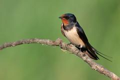 swallow (leonardo manetti) Tags: uccello bird nature sunset red winter colours naturephotography field natural nikkor countryside albero wwod woodland bee eater legno nikon d850 macro swallow barn erba