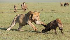 Male Lion - Panthera leo (rosebudl1959) Tags: 2017 kenya masaimara zebraplains mandevu malelion hyena