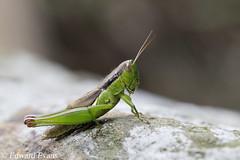 Grasshopper (edward.evans) Tags: grasshopper orthoptera insect animal wildlife hongkong hk newterritories china nature taitoyan taimoshan