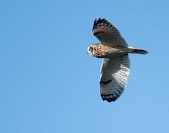 Short-eared-owl (Birdmel) Tags: reculver shortearedowl