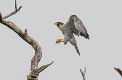 7K8A8233 (rpealit) Tags: scenery wildlife nature state line lookout peregrine falcon bird