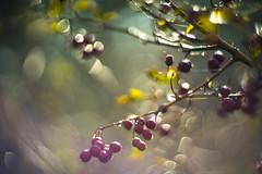 The color of fall. (look to see) Tags: herfst fall bokeh licht light vintagelens ussr helios40 85mmf28 delaak beek bree belgium 2018