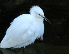 Oso Creek Visitor (Bennilover) Tags: bird birds whitebird snowyegret osocreek fishing hunting food creeks california october walking water