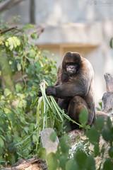 Woolly monkey (Cloudtail the Snow Leopard) Tags: wollaffe tier amimal mammal säugetier monkey primat klammerschwanzaffe laghtrix woolly zoo basel