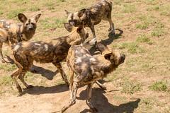 IMG_8858 (kijani_lion) Tags: lion safari park african wild dog south africa