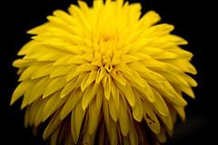 DSC_4674 (Stacey Conrad) Tags: americandahliasociety d7500 dahlia flower kennettsquare longwoodgardens nikon pa