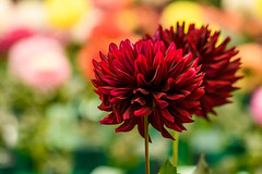 DSC_4811 (Stacey Conrad) Tags: americandahliasociety d7500 dahlia flower kennettsquare longwoodgardens nikon pa