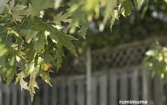 Autumn Leaves (rumimume) Tags: potd rumimume 2017 niagara ontario canada photo canon 80d sigma fall autumn outdoor leaf colour day 2018