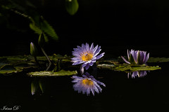 An autumn song (Irina1010) Tags: flowers waterlily purple lilypads pond water floating gibbsgardens nature beautiful autumn endofseptember autumnsong canon coth coth5 ngc npc
