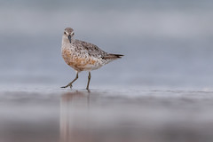Red Knot (Kevin Fox D500) Tags: redknot stoneharbor stoneharborpoint newjersey sigma150600sport sigma shorebirds shorebird bird birding birdwatching birds nature nikond500 nikon ocean