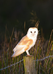 Barn Owl (Terry Angus) Tags: owl barnowl bird