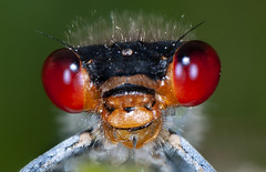 Erythromma najas - Red-eyed Damselfly (Yagosan) Tags: erythromma najas redeyed damselfly