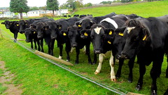 """""""We Never Touched That Fence"""" (sapko1961) Tags: cow cows bullocks grass grassland farm"""