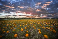 sunset and pumpkins (Victor Carrera) Tags: pumpkin sunset 12mm nikon canada victoriabc britishcolumbia