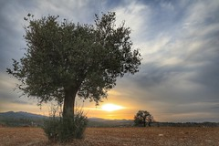 Sunset in Cyprus (10) (Polis Poliviou) Tags: nature green tree wood root agriculture plant outdoors cyprustheallyearroundisland cyprusinyourheart yearroundisland zypern republicofcyprus ©polispoliviou2018 polispoliviou polis poliviou πολυσ πολυβιου leaf field mediterranean oleaeuropaea sunsetincyprus flora grass environment healthy beauty afiap motherearth art agricultural soil texture rough postcard brunch grey brown season countryside organic ecology ecological winter lovecyprus autumn olivo ulivo sunlight light sun sunset sunrise fall