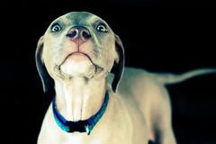 Scout (Anna Peterson) Tags: pentax pentaxk3 pentaxfa43f19ltd puppy pitbull americanpitbullterrier anthropomorphism 52frames2018 52frames