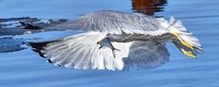 Ring-Billed Gull - Successful Fishing (Vidterry) Tags: gull seagull ringbilledgull gullwithfish cedarlake
