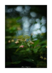 2018/9/14 - 3/15 photo by shin ikegami. - SONY ILCE‑7M2 / Lomography New Jupiter 3+ 1.5/50 L39/M (shin ikegami) Tags: macro マクロ 紫陽花 flower 花 井の頭公園 吉祥寺 summer 夏 sony ilce7m2 sonyilce7m2 a7ii 50mm lomography lomoartlens newjupiter3 tokyo sonycamera photo photographer 単焦点 iso800 ndfilter light shadow 自然 nature 玉ボケ bokeh depthoffield naturephotography art photography japan earth asia