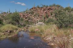 Watered-Down (Dick Shattuck) Tags: saguaronationalpark hiking hikingtrail wildhorsetrail water saguaros