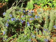 IMG_0961 (belight7) Tags: flowers vipers bugloss eastbourne uknature ukphotos sortukphotos